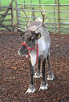 Reindeer female.