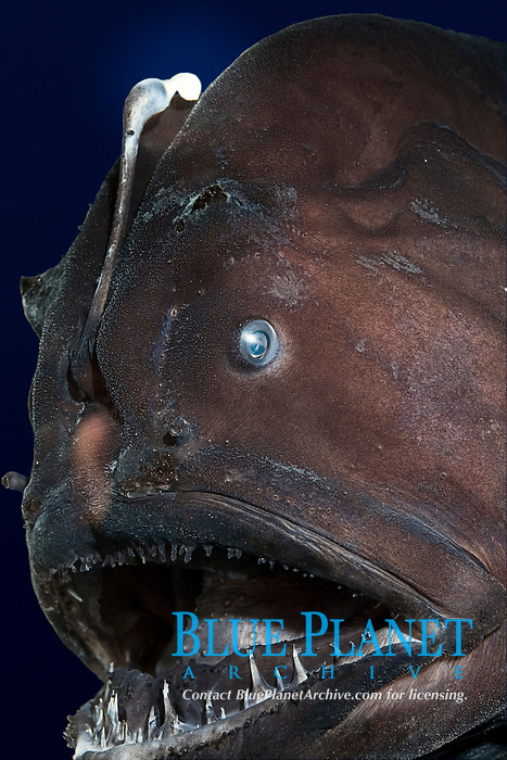 deep sea anglerfish, angler fish, doublespine seadevil or black seadevil, Diceratias pileatus (c), uses bioluminescent lure to attract prey in the deep ocean; brought up from a depth of 3,300 feet (1000m) in a water intake pipe at Natural Energy Lab of Hawaii (NELHA), Keahole, Kona, Hawaii (the Big Island) (dm)