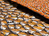 Drying fish near the Tonle Sap Lake, a stable diet for Cambodians. The fish is from the Tonle Sap Lake and Mekong River, fish processing near Battambang, Cambodia.