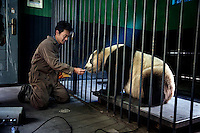 Researchers weigh a captive panda as part of an ongoing health monitoring program at the Hetaoping Panda Conservation Centre.