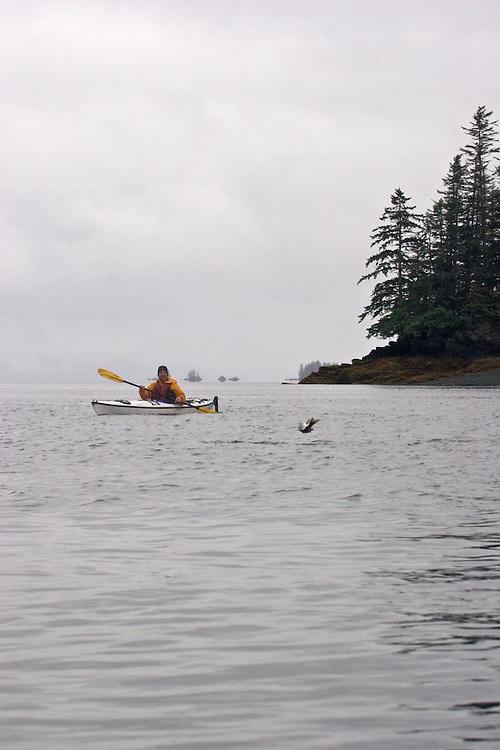 Alaska, Prince William Sound, Esther Passage, salmon jumping, David Fox, released,.