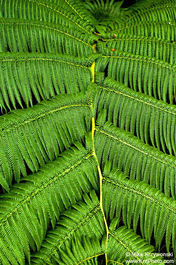 Close-up of fern in Hawaii Volcanoes National Park, Big Island, Hawaii