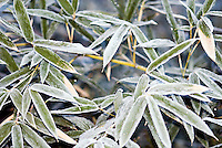 Frost on bamboo plant.