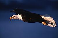 Profile portrait od a Bald eagle (Haliaeetus leucocephalus) in flight.