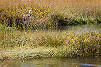 Tall wetland grasses provide safe haven for various wildlife including this Great blue heron at the Martin Luther King Jr. Regional Shoreline near the Oakland International Airport.