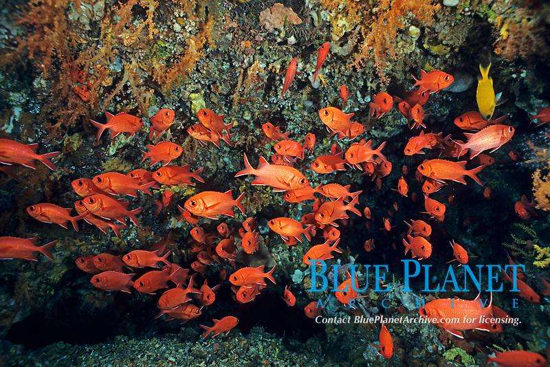 Whitetip soldierfish, Myripristis vittata, Bali island, Indonesia, Pacific Ocean
