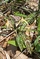 Erythronium americanum, Yellow Trout Lily, American native wildflower, in spring bloom, showing back of yellow flowers, downward facing nodding blooms, and very mottled red and green variegated foliage leaves