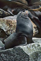 California Sea Lion (Zalophus californianus) bull.   West Coast, Pacific Ocean shoreline.