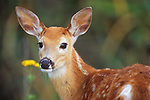 Whitetail fawn with spots