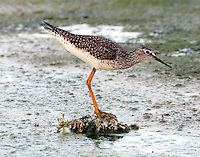 Lesser yellowlegs in breeding plumage
