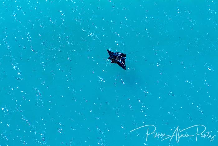 Une raie manta dans la baie d'Upi à l'Ile des Pins