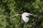 Damon, Texas; a juvenile white ibis flying past trees over the the surface of the slough