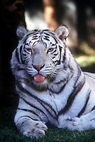 White siberian tiger.