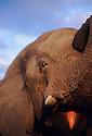 "Jabu, the bull elephant part of the ""Grey Matters"" herd in the Okavango Delta, Botswana.  Photo by, Karie Henderson © 2000"