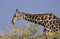Reticulated Giraffe (Giraffa camelopardalis reticulata), adult eating acacia, Namibia, Africa