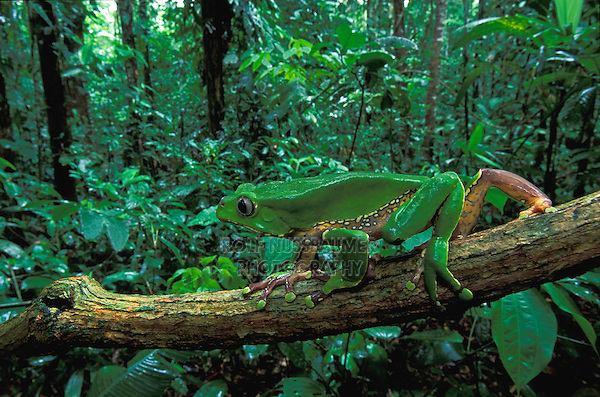 Giant Leaf Frog or Giant Waxy Monkey Frog (Phyllomedusa bicolor), adult walking, Tambopata Candamo Reserve, Peru