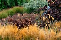 Stipa tenuissima, Pennisetum setaceum 'Rubrum', Phormium 'Baby Bronze', Lavender, Cotinus and Miscanthus (not blooming) in California meadow garden