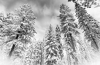White firs and Jefferey pines in the forest outside of my home -  the first major storm of the winter 2020-21.