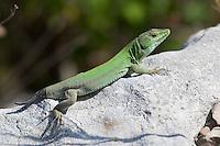Ruineneidechse, Ruinen-Eidechse, Ruinenechse, hat Schwanz abgeworfen, Autotomie, Podarcis siculus, Lacerta sicula, Italian wall lizard, ruin lizard, Italian wall-lizard, Lézard des ruines, Italien, Sizilien