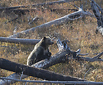 The grizzly bear called Raspberry hangs out in a field in Yellowstone.
