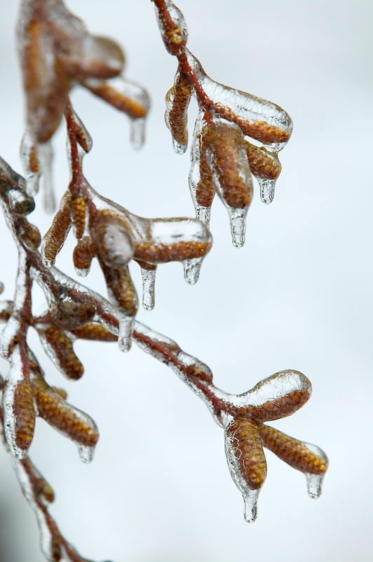 Birch tree catkins in freezing rain. Near Alpine, Oregon