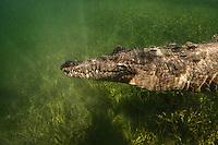 American Crocodile at Jardines de la Reina, Cuba