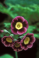 Primula auricula Margaret Irene auricula primrose in bloom with purple and lavender picotee and white center