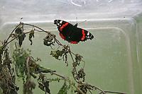 Kinder züchten Schmetterlings-Raupen, Terrarium war mit einem Strauß frischer Brennnesseln als Raupenfutterpflanze versehen, Raupe vom Admiral hat sich darin verpuppt und ist nun als fertiger Falter geschlüpft, Vanessa atalanta, red admiral