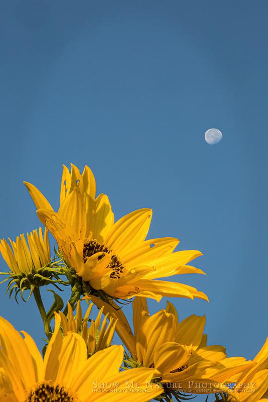 Daytime Moon above Sunflowers