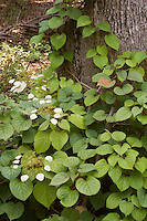 Schizophragma hydrangeoides (Climbing Hydrangea) Moonlight vine in bloom on tree
