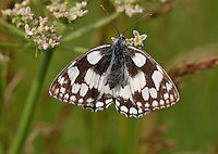 Marbled White Butterfly, Melannargia galathea , Great Missenden, Buckinghamshire....Copyright..John Eveson, Dinkling Green Farm, Whitewell, Clitheroe, Lancashire. BB7 3BN.01995 61280. 07973 482705.j.r.eveson@btinternet.com.www.johneveson.com