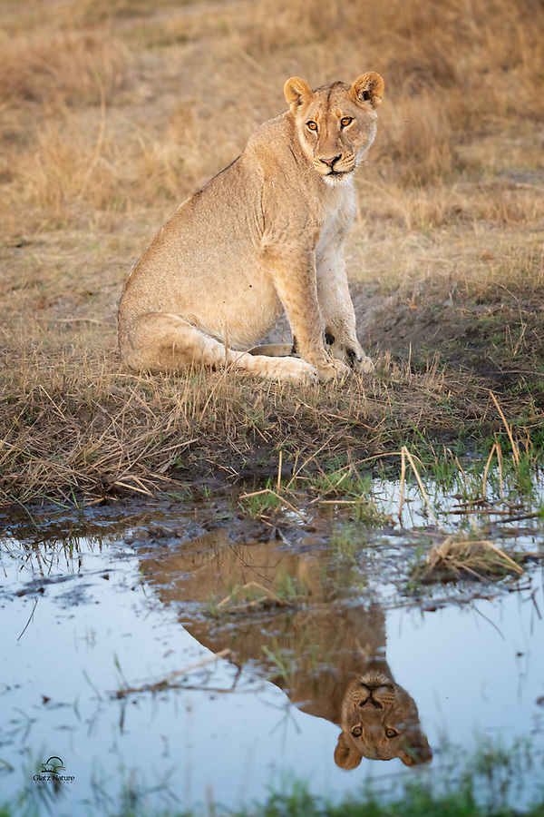 Belly full after feeding with her sisters and their cubs on a Waterbuck, this female Lion (Panthera leo) looks back at her pride while she gets a drink. She seems satisfied and perhaps even a bit reflective.