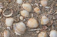 Essbare Herzmuschel, Eßbare Herzmuschel, Gewöhnliche Herzmuschel, Cerastoderma edule, Cardium edule, Schale, Muschelschale am Strand, Spülsaum, common cockle, common European cockle, edible cockle