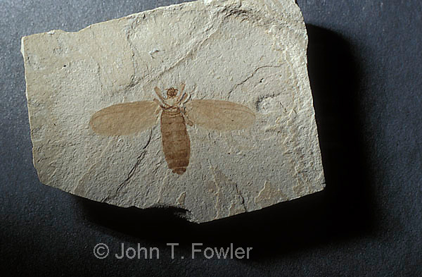 March fly fossil