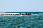 Gray Seals hauled out on the Chatham Bars, Cape Cod.  Approximately 600 seals are hauled out of the water.  They are being chased by several Great White Sharks hunting this population just outside of Chatham Harbor on Cape Cod and driving them inside and onto sand bars for protection from these large predators.