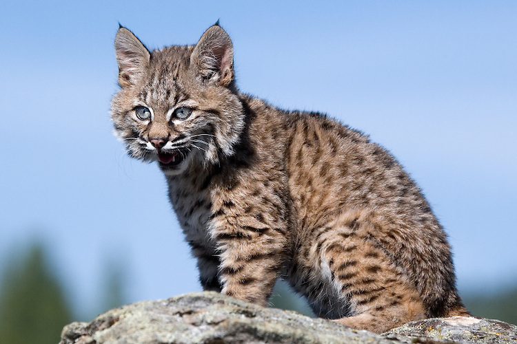 Bobcat kitten sitting on top of a rocky outcrop - CA