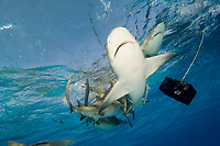 Lemon shark underwater. Negaprion brevirostris.