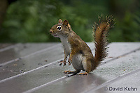 0705-1009  Red Squirrel on Alert While Foraging for Seeds on House Patio, Tamiasciurus hudsonicus  © David Kuhn/Dwight Kuhn Photography