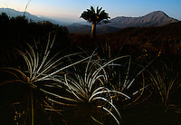 A lone Chilean palm in Oasis de la Campana, an ecological reserve to save the endangered Chilean palm tree. The 1828-meter peak of Cerro La Campana or Bell Mountain is in the background. Threatened from years of being cut, in present day, they are cut for their sugar-sweet sap. Years ago Spaniards cut the .taller trees to run cattle, plant crops on the land and to burn wood for charcoal. The oldest Chilean palm in the reserve is 1,200 years. <br /> Many of the larger one photographed are 400-700 years old. There are 2,000 on the reserve and 8000 in the nearby park that are not protected.