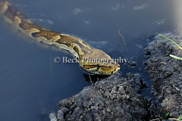 An East African Python