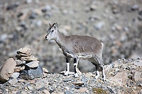 Bharal or Blue Sheep in Tibet