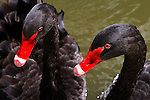 Two black swans wait for food in Sunset Lake, Asbury Park, New Jersey