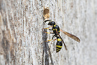 Zierliche Lehmwespe, Lehmwespe, am Nest, Nestloch, Loch, Niströhre, Neströhre, Symmorphus gracilis, Symmorphus elegans, Vespidae, Eumeninae, Lehmwespen, tube-nesting wasp, Figwort Mason-wasp, Mason wasp, potter wasp, Lehmwespen, Solitäre Faltenwespen, Eumenidae, Potter wasps, mason wasps