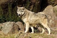 Wolf in Yosemite, Calif.