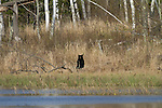 Black bear in northern Wisconsin