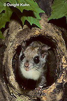 MA29-024z   Flying Squirrel - in a nest cavity - Glaucomys sabrinus