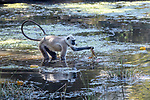 Adult grey or Hanuman langur (Semnopithecus entellus) feeding on pond weed. Kanha National Park, Madhya Pradesh, Central India.
