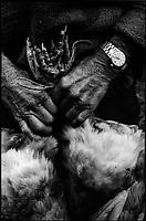 Europe/France/Aquitaine/64/Pyrénées-Atlantiques/ Verdets: Chez Mr Lacrampe volailler - chargement des volailles pour partir au marché