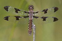 Common Whitetail (Plathemis lydia) Dragonfly - Female, Ward Pound Ridge Reservation, Cross River, Westchester County, New York