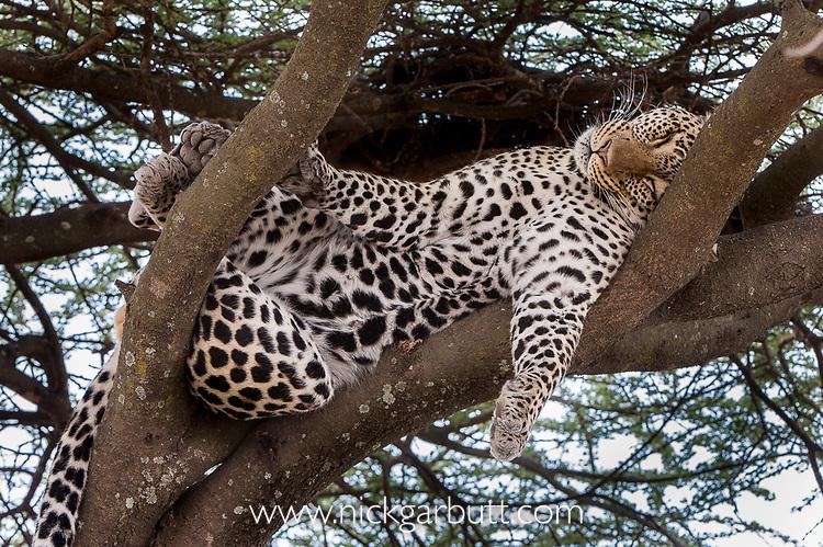 Male leopard (Panthera pardus) sleeping / resting on a tree bough. Long Gully near Ndutu, Ngorongoro Conservation Area, Tanzania. April.